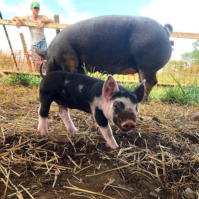 Come say hi to Cleo during the Centre County Farm Tour July 27! #berkshirepiglet #centralpa #rhoneymeade #centrecountyfarmtour #farmlandpreservation #centrecountyfarmlandtrust