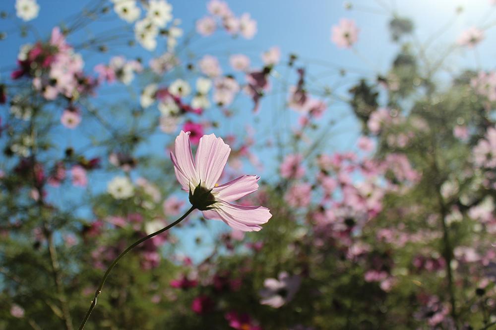 flower-raychponygold.jpg