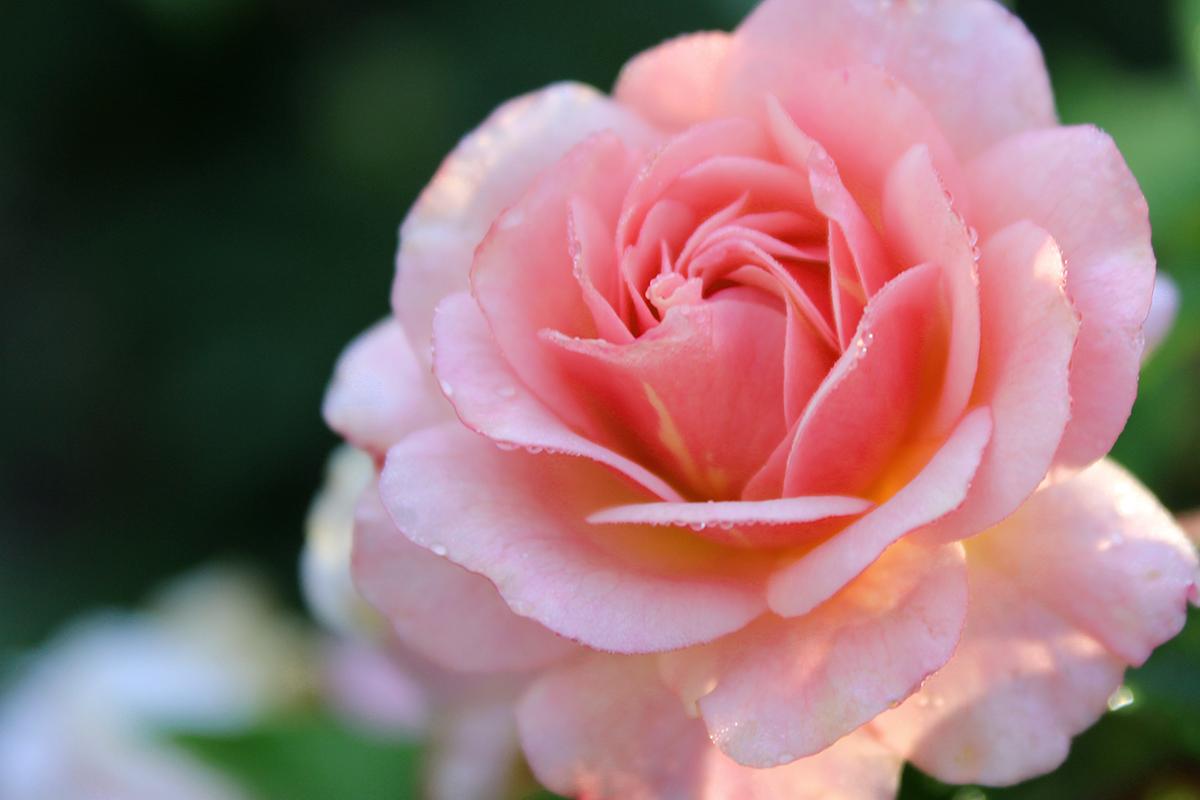rose_raychponygold.jpg