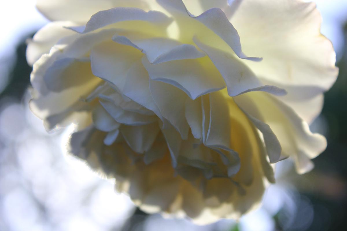 rose_raychponygold2.jpg