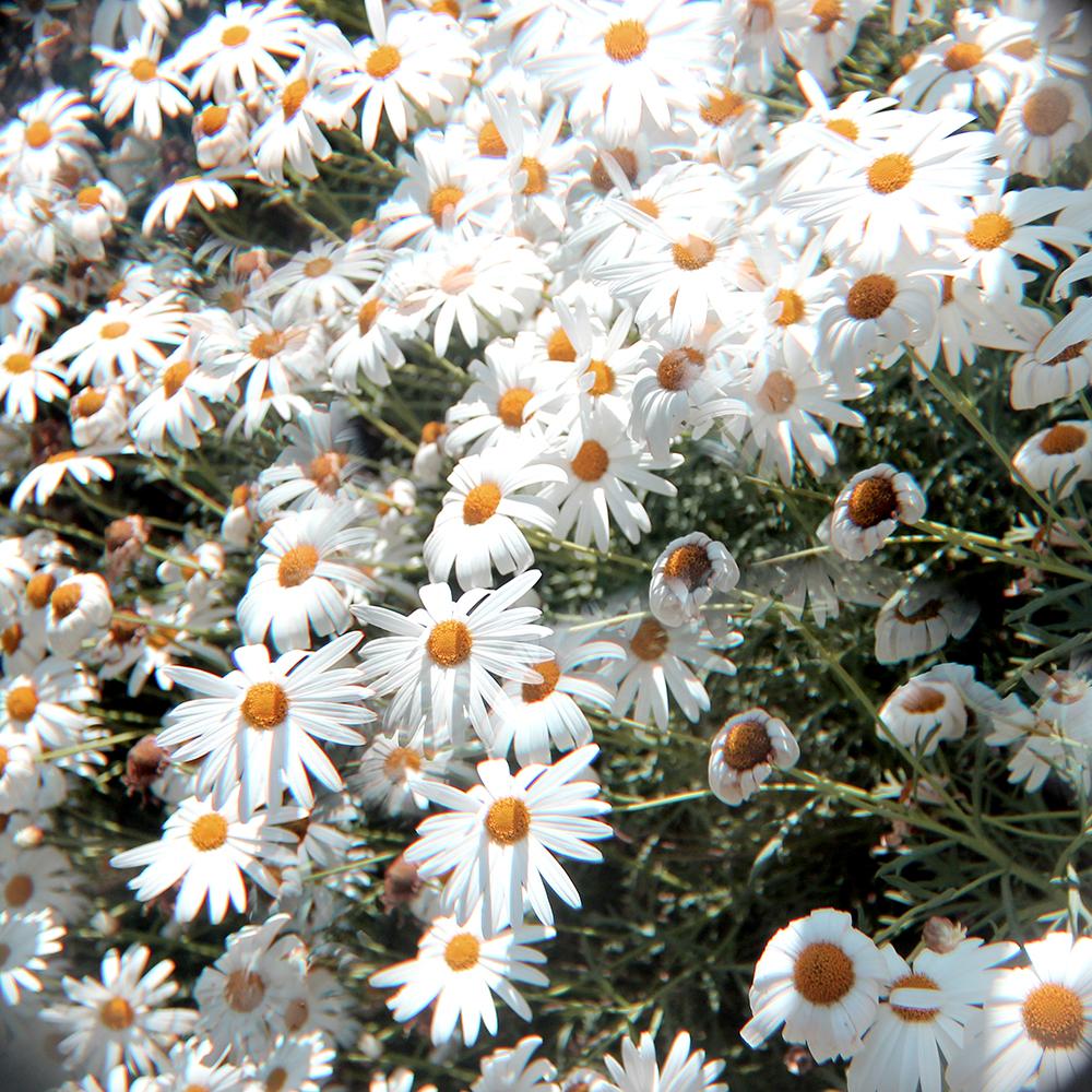 daisies4-web.jpg