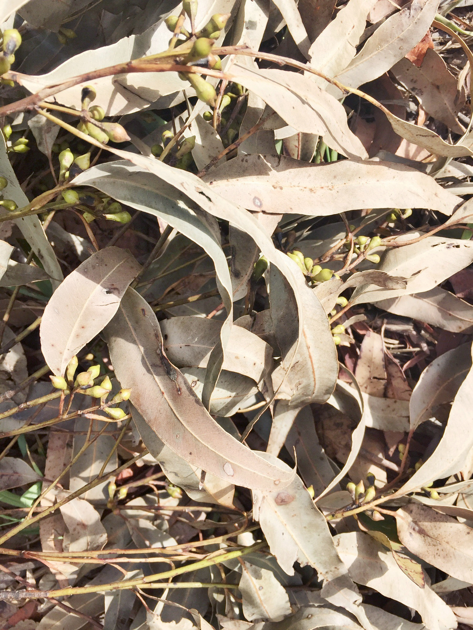 gum-leaves.jpg