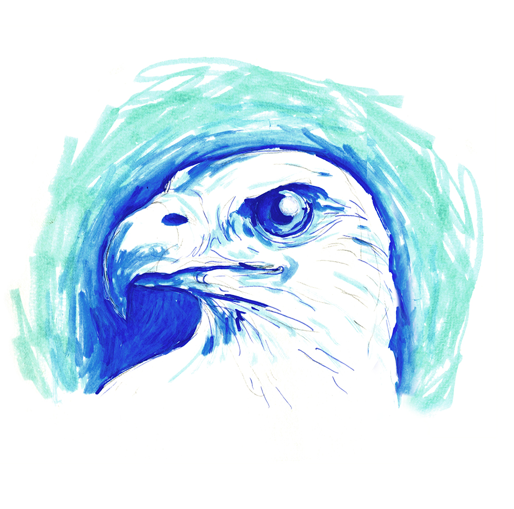 Sea-eagle-study2-web.jpg