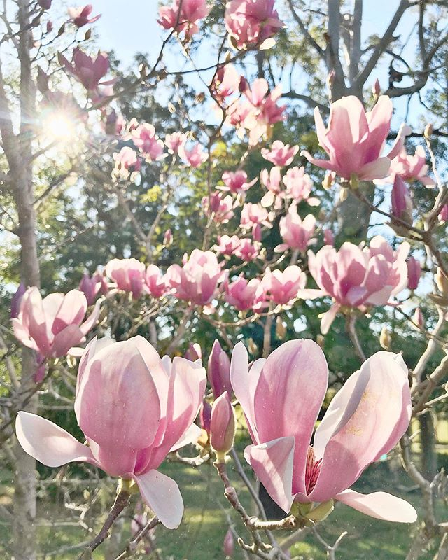 Late afternoon magnolia lanterns.