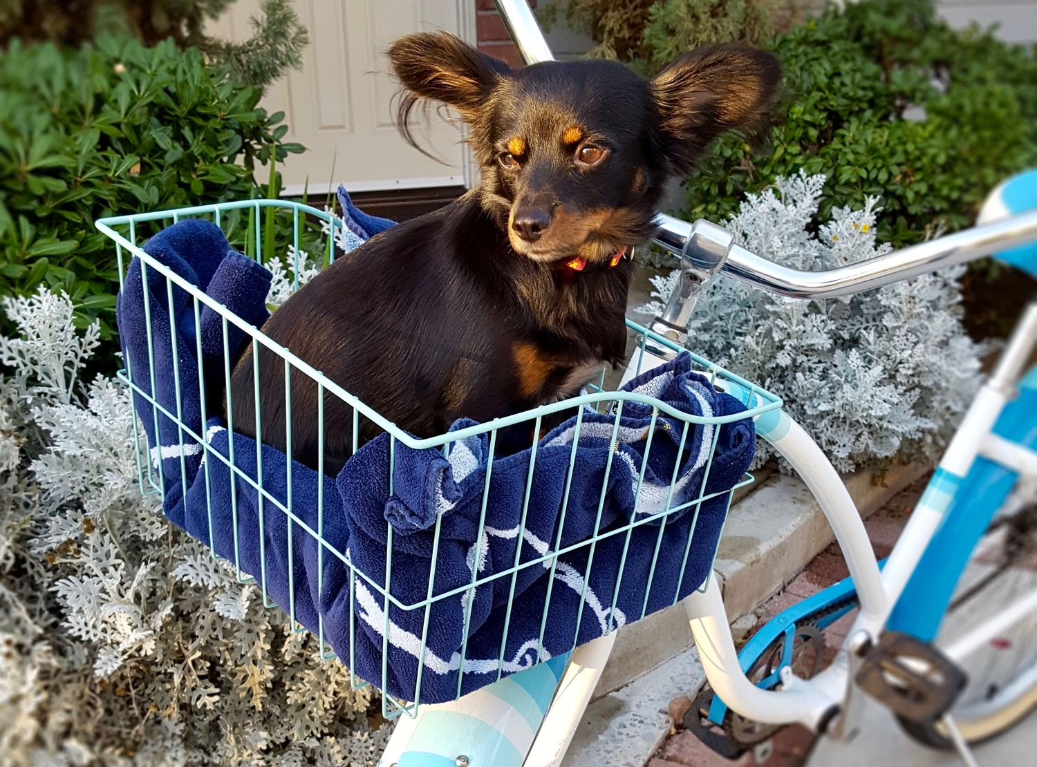 dogs - If your dog likes going on rides, your dog will love riding in a Smart Basket.  Your furry friend won't be wagged back and forth with the bike's steering and will have a steady view (and sniff) of the world going by.  Even a 50 pound bull dog can go for a ride!Pictured: Wave Wire Basket, Blue Color