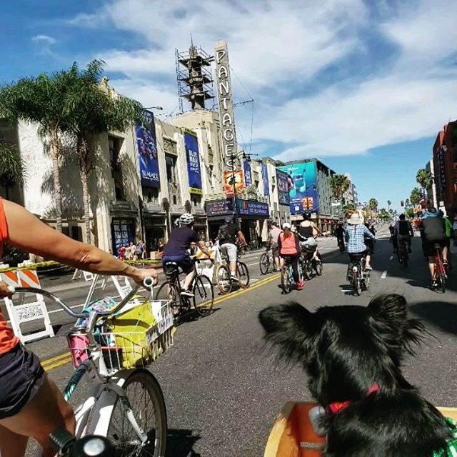 🚲 What a great day @ciclavia in the Hollywoods on Sunday!! Thanks to all the #ciclavia people and volunteers who made it happen! 🚲 🚲 🚴♂️ 🚴♀️ Riding past the @hollywoodpantagestheatre on #hollywood Blvd, we showed-off our #smartbasket with our favorite #dogmodel @leelalum 🐶 For more info, use the link in our bio. 🚲