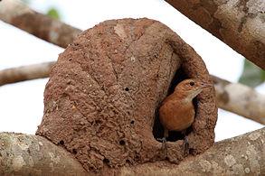 Tiluchi Bird Is The Only Engineer Bird