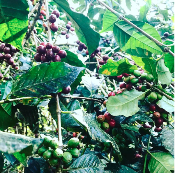 Being close to the source . Waste coffee beans are used as an ingredient to dye textiles.