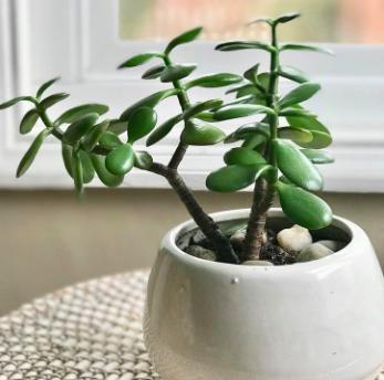 Jade plant via Urban Jungle