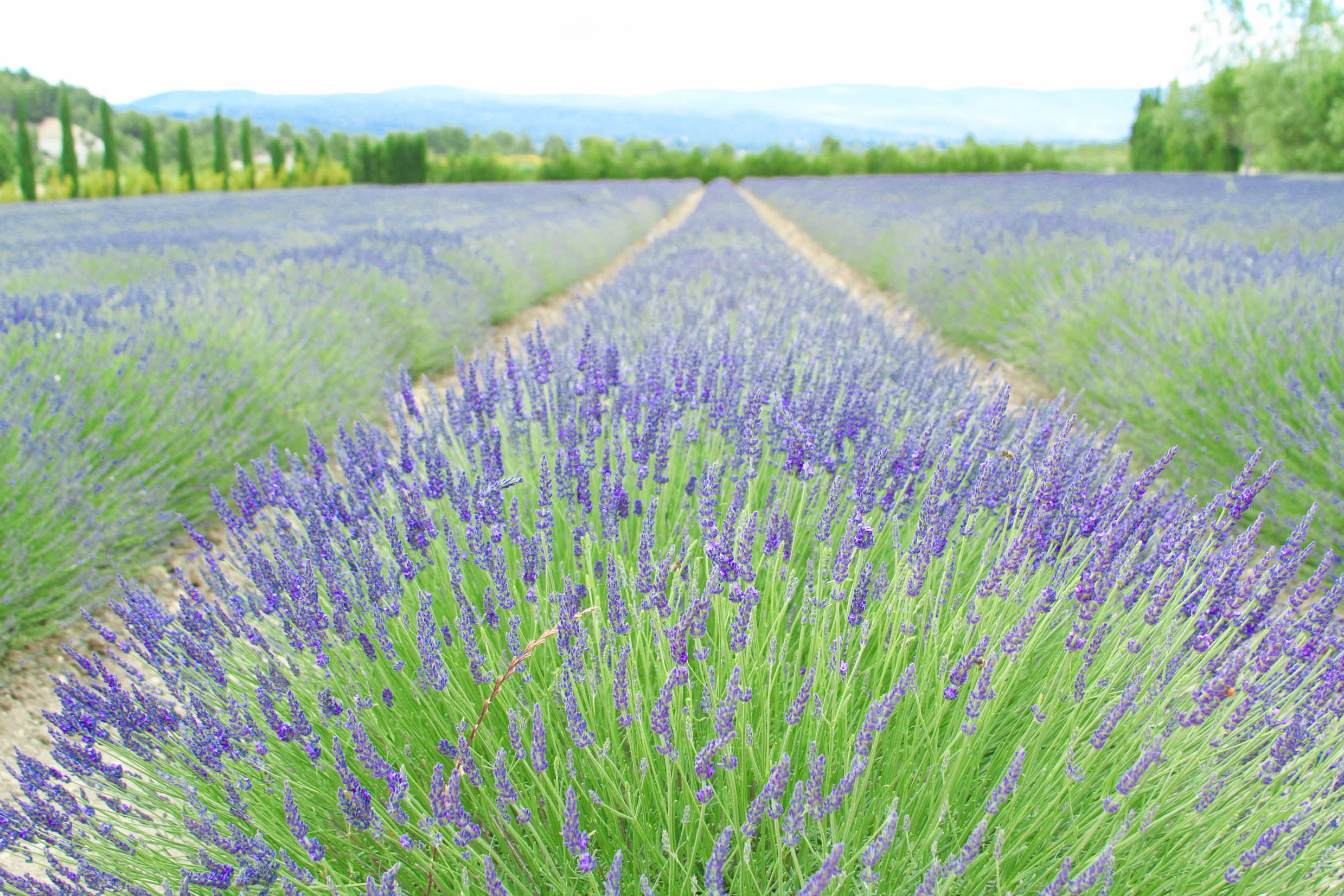 """...we couldn't resist a stop at the early-blooming lavender field we found on the way into Roussillon."" 