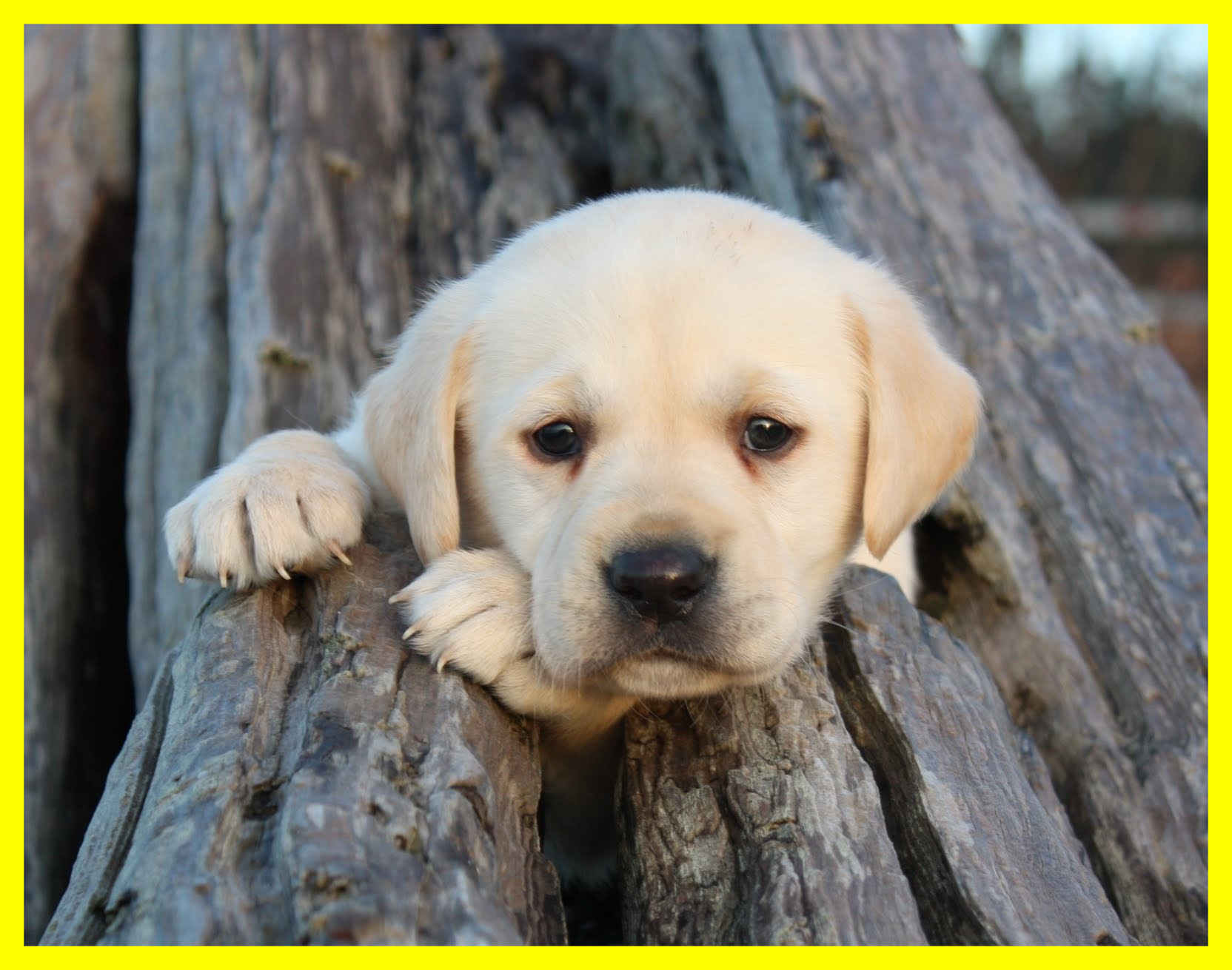 Labradors. Cute. When trained.