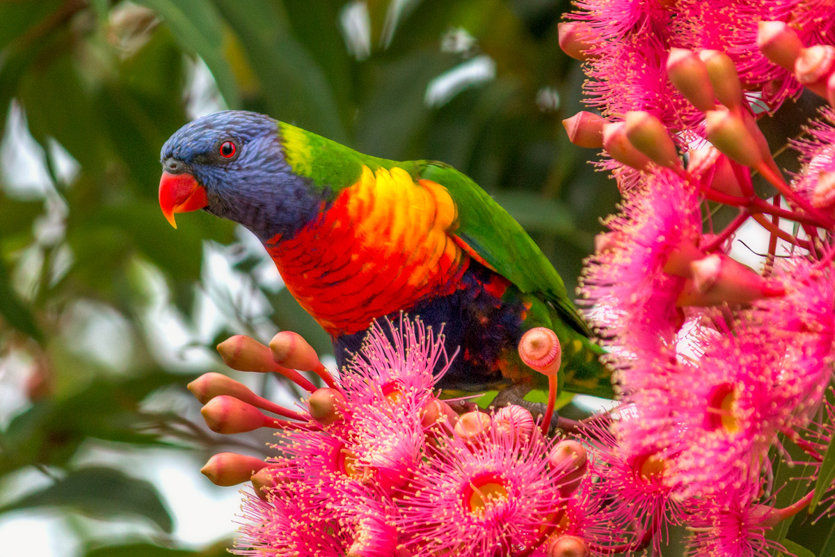 We were on a family drive through the Jamberoo countryside when I saw a  trio of Rainbow Lorikeets perched high up in the gum tree, feeding on the flowers. The overcast weather brought out the bold colours of the bird and flowers against the deep green back drop. I was glad to have my 250mm lens on hand which allowed to get in close, and draw attention to the lorikeet's magnificent plumage.