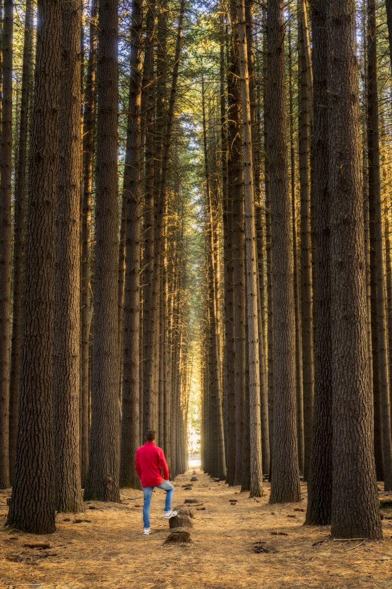 Laurel-Hill-Sugar-Pine-Forest.jpg