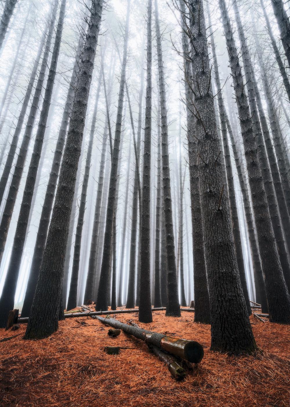 Laurel-Hill-Sugar-Pines-Forest-Fog.jpg