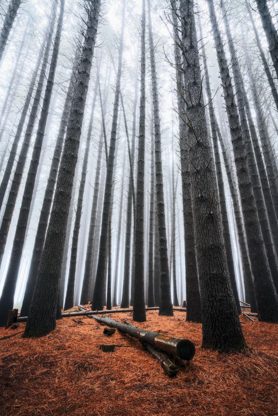 Sugar-Pine-Forest-Fog-Laurel-Hill.jpg