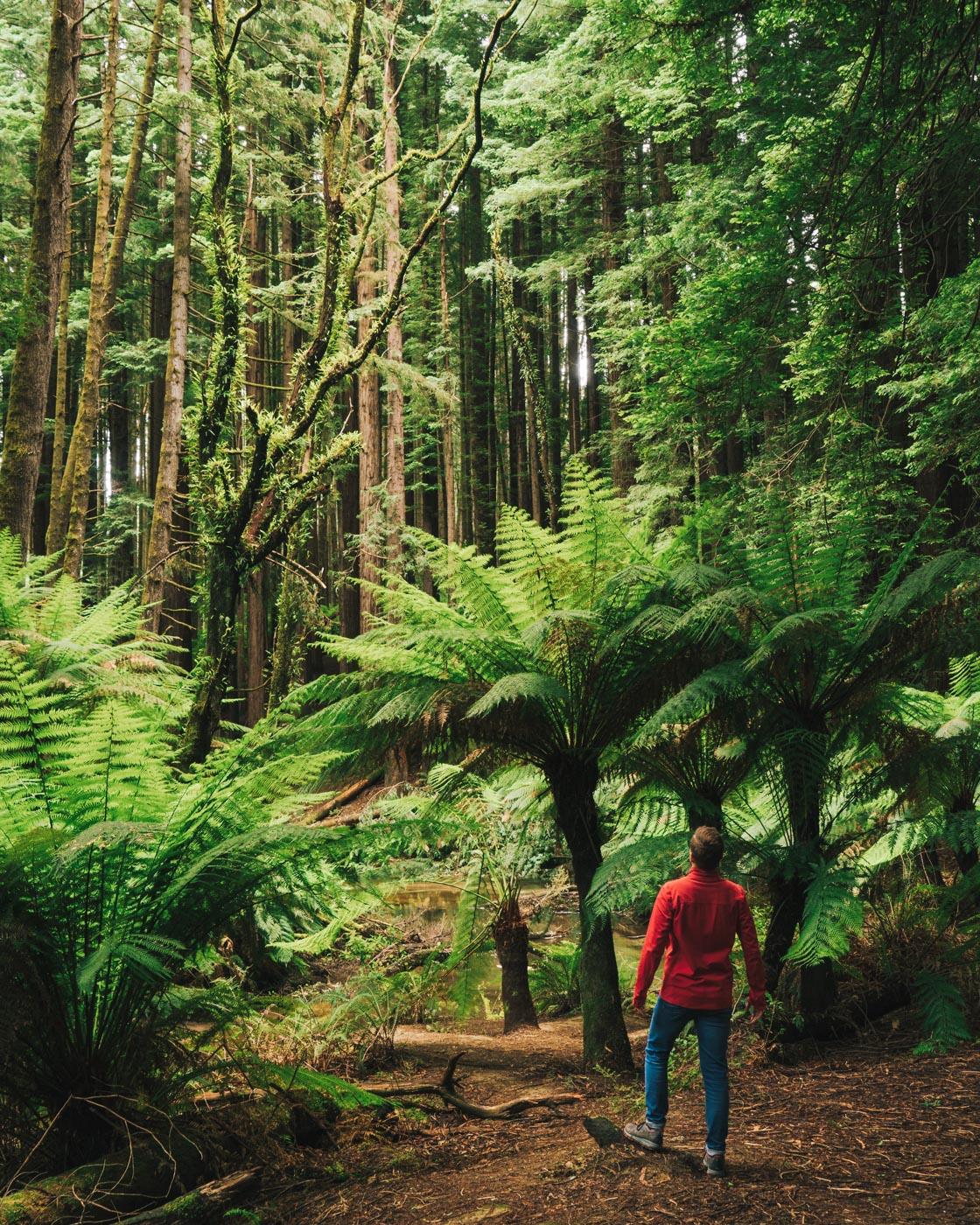 Otways-Forest-California-Redwoods.jpg
