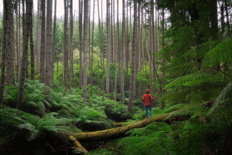 Californian-Redwoods-Otways-Victoria.jpg