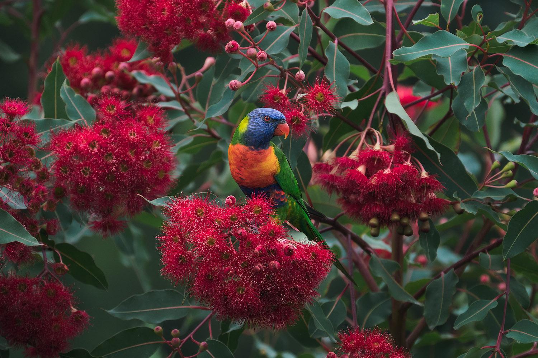 Rainbow-Lorikeet-Bird-Flowers.jpg