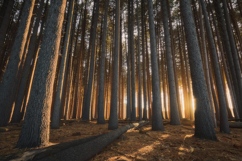 Sugar Pines Forest Sunrise.jpg