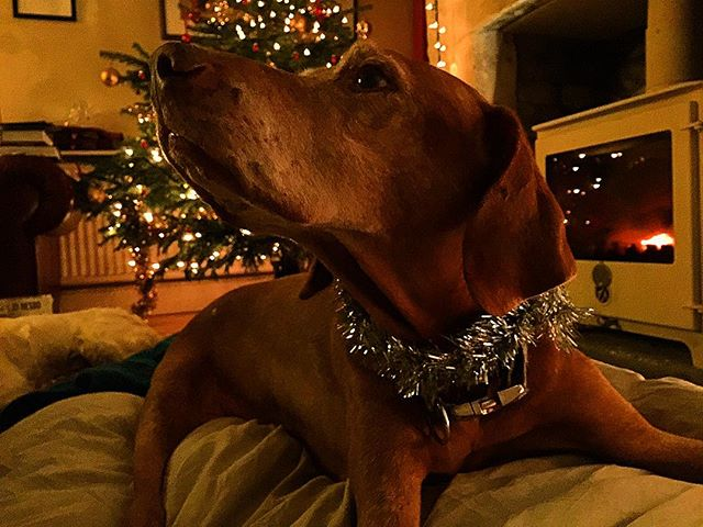 Happy 17th Christmas Indy x #vizsla 🎄🐾💕✨