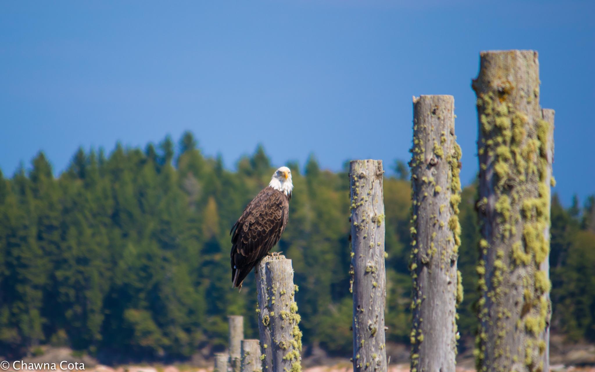 Bald Eagle focus posts facebook.jpg