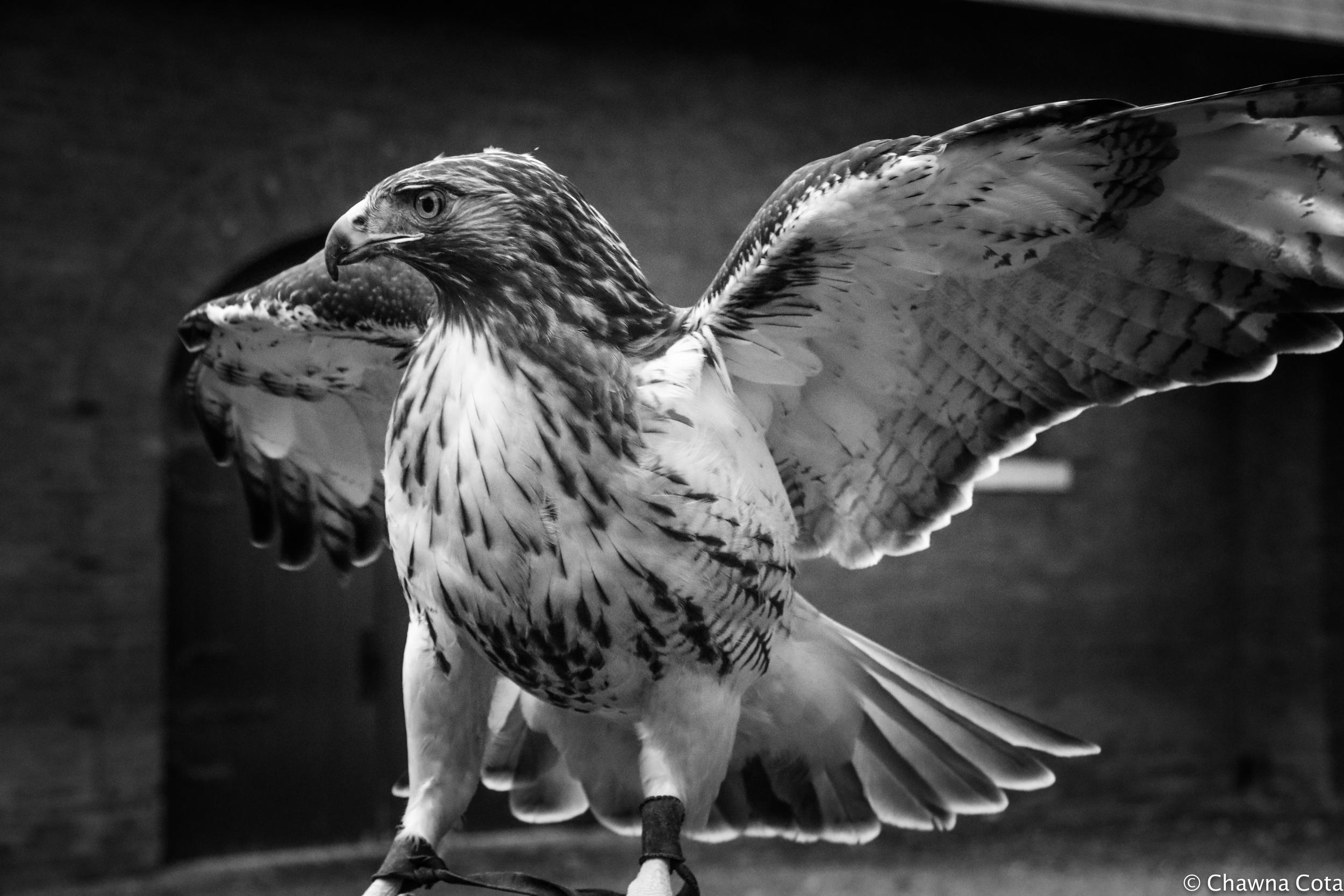 Redtail Hawk  (1 of 1).jpg