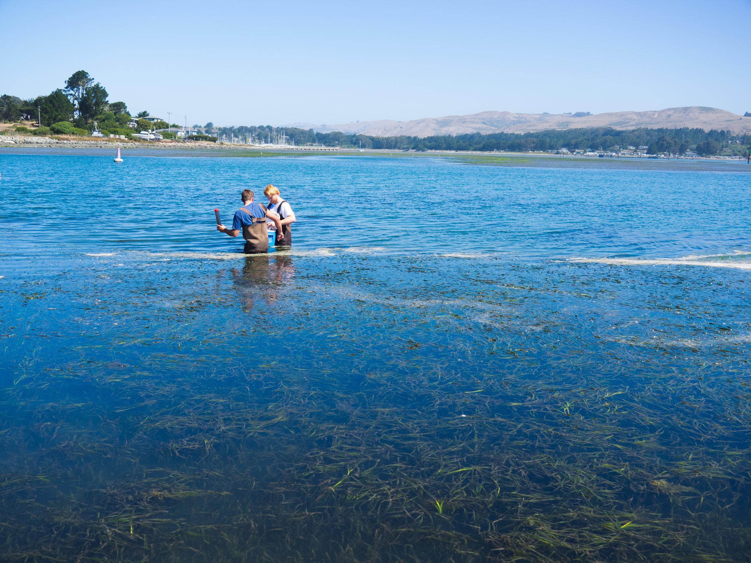 Sampling seagrass sediments with B. O'Donnell in Bodega Harbor, CA. Photo credit: A. Ninokawa
