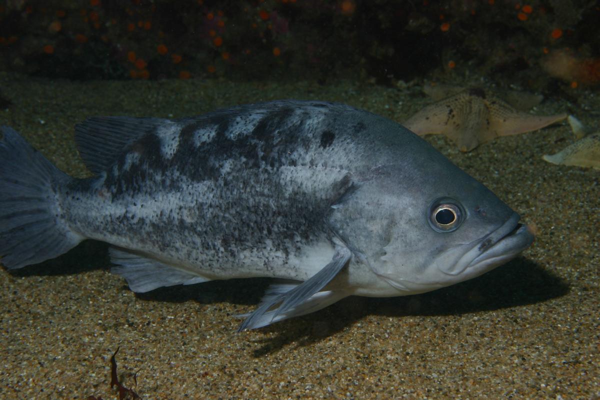 Black Rockfish (Wikipedia Commons)