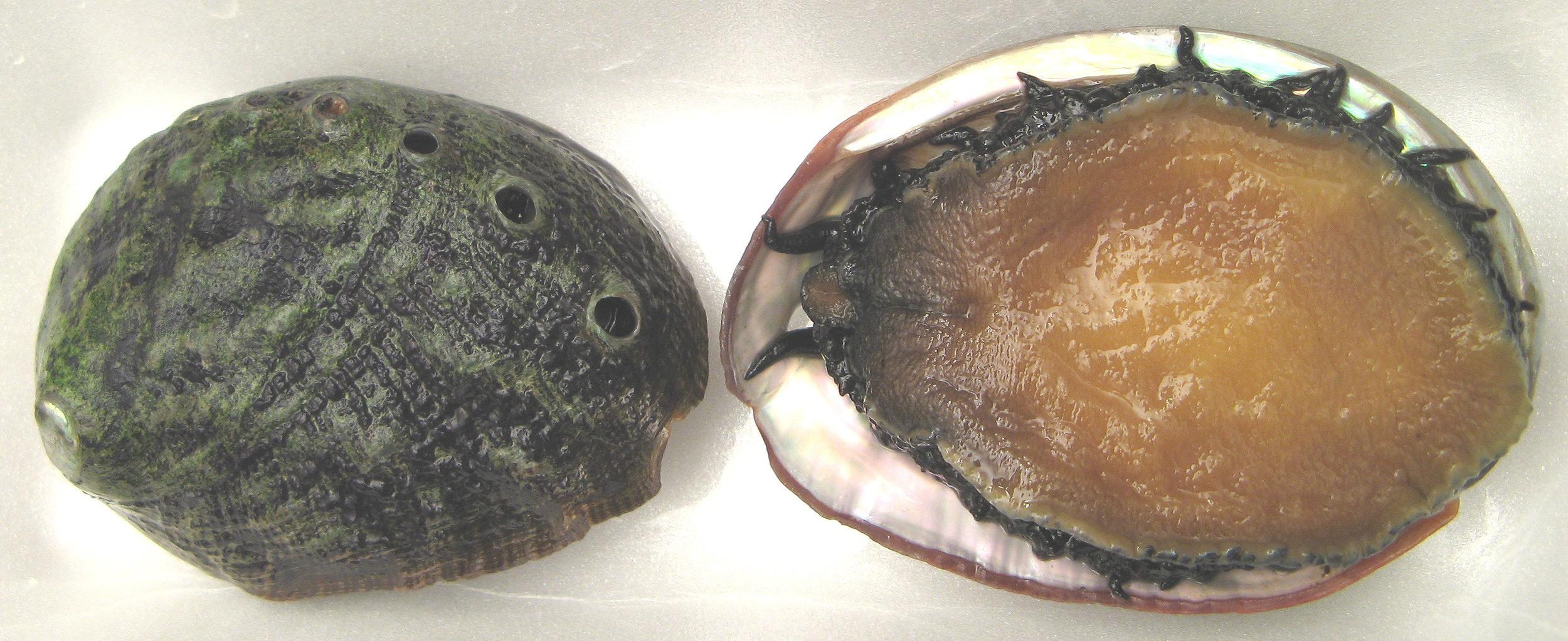 White Abalone. Photo: Wikimedia Commons
