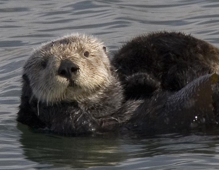 Sea Otter. Photo: Wikipedia