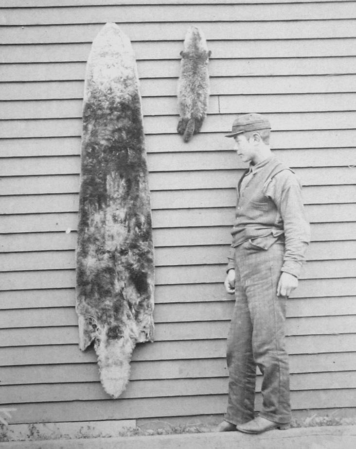 A man standing next to a sea otter pelt in the Aleutian islands.  Photo taken in 1892, from NOAA's  Historic Fisheries Collection .  Public link:  https://commons.wikimedia.org/wiki/File:Skins_of_sea_otters_1892_right.jpg