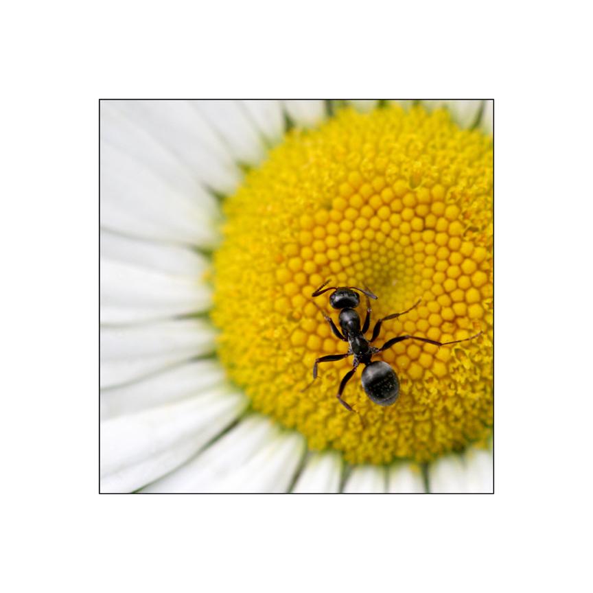 ant on a daisy.jpg