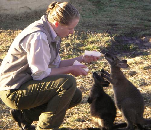 Feeding baby kangaroos