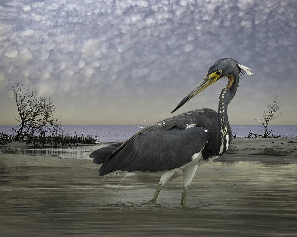 tri-colored heron  ©2014