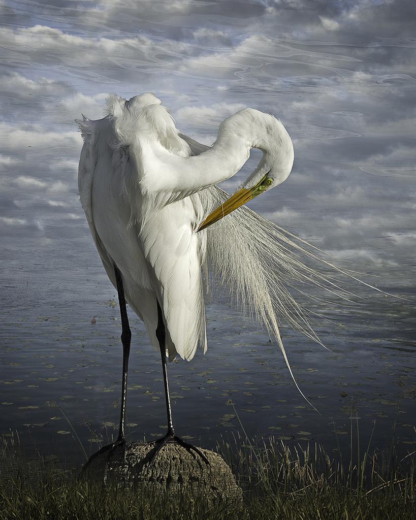great egret preening  ©2014