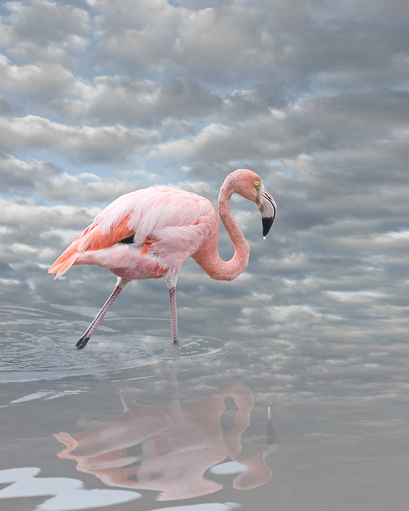 greater flamingo  ©2014