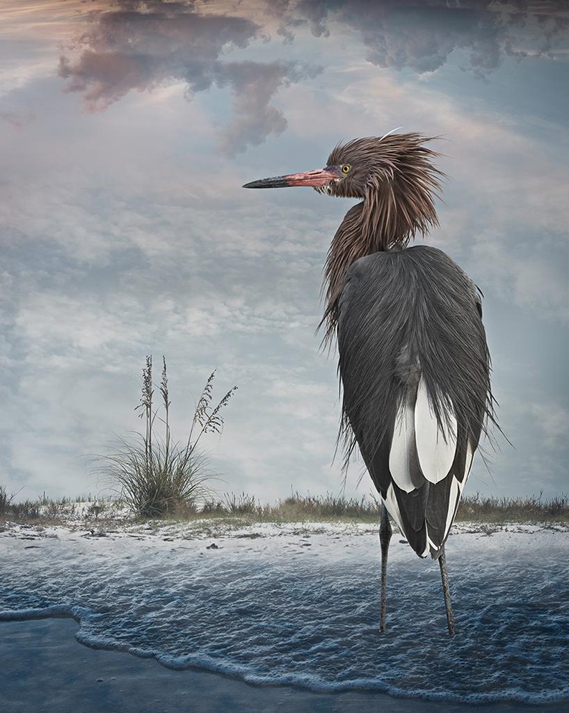 reddish egret  ©2014