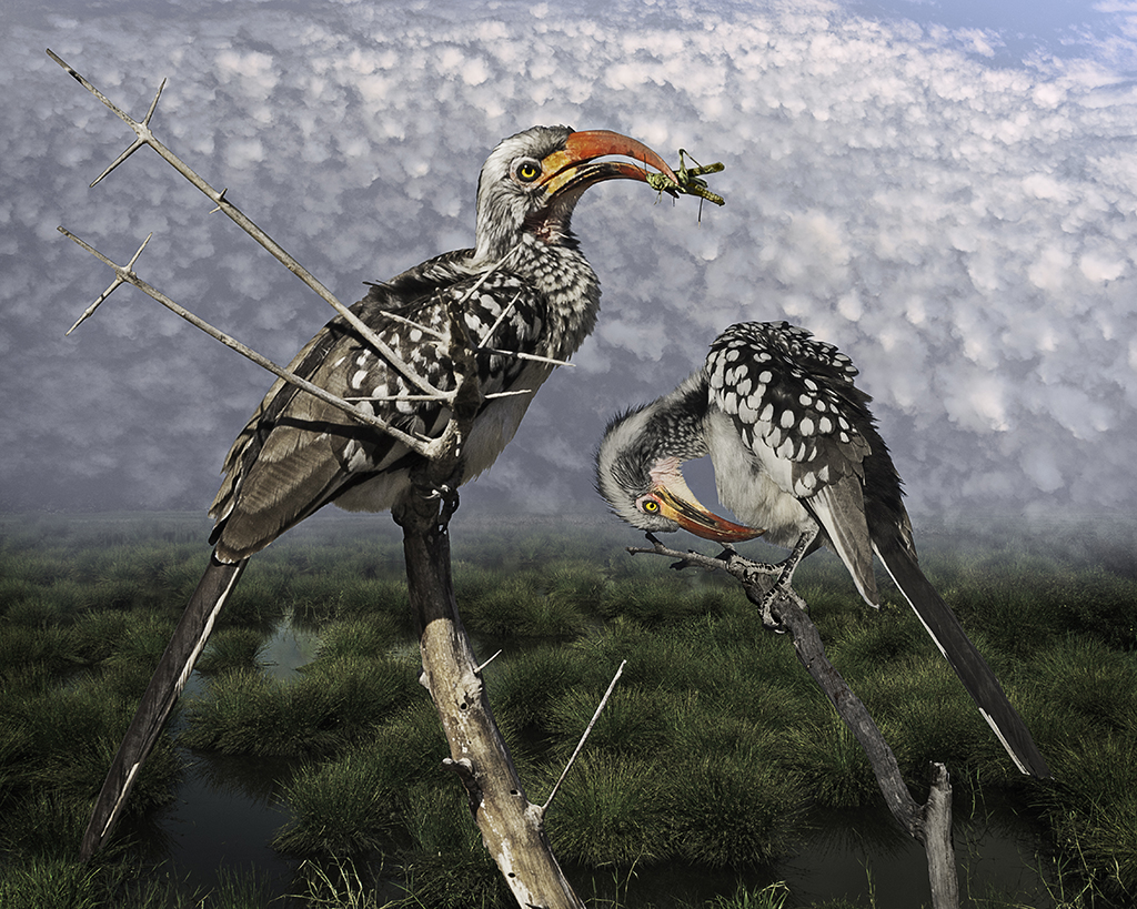 red-billed hornbill with grasshopper  ©2016