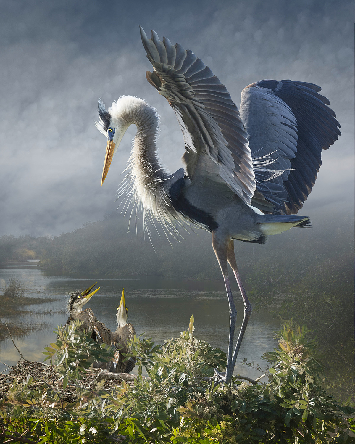 great blue heron with chicks revisited  ©2014