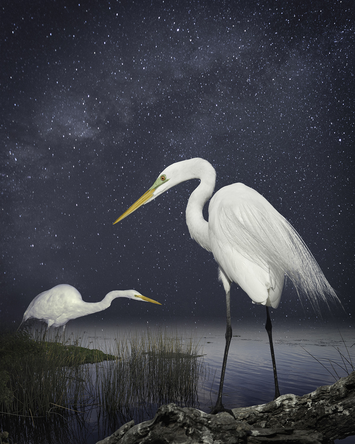 great egrets a starry night  ©2014