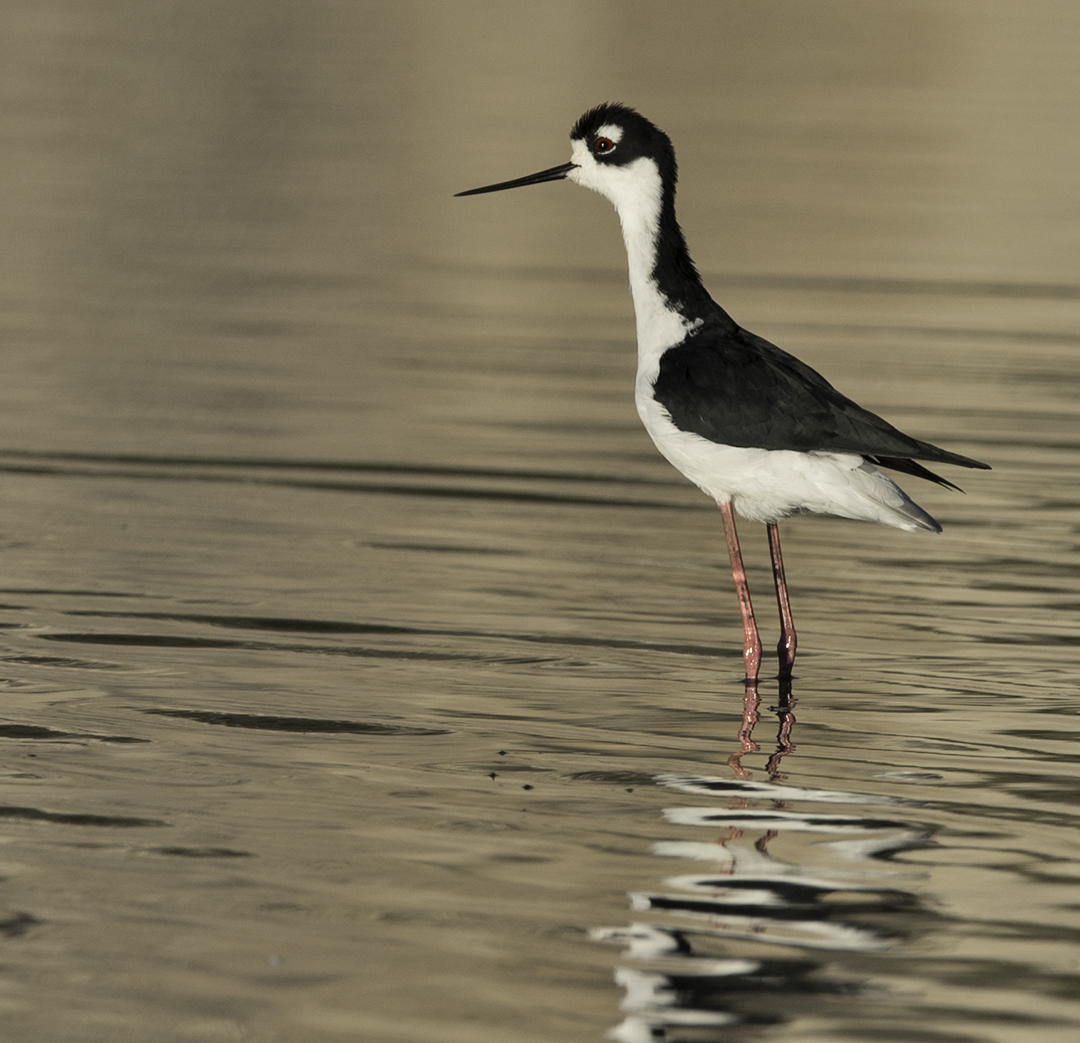 Black-necked Stilt  at the Goleta Slough