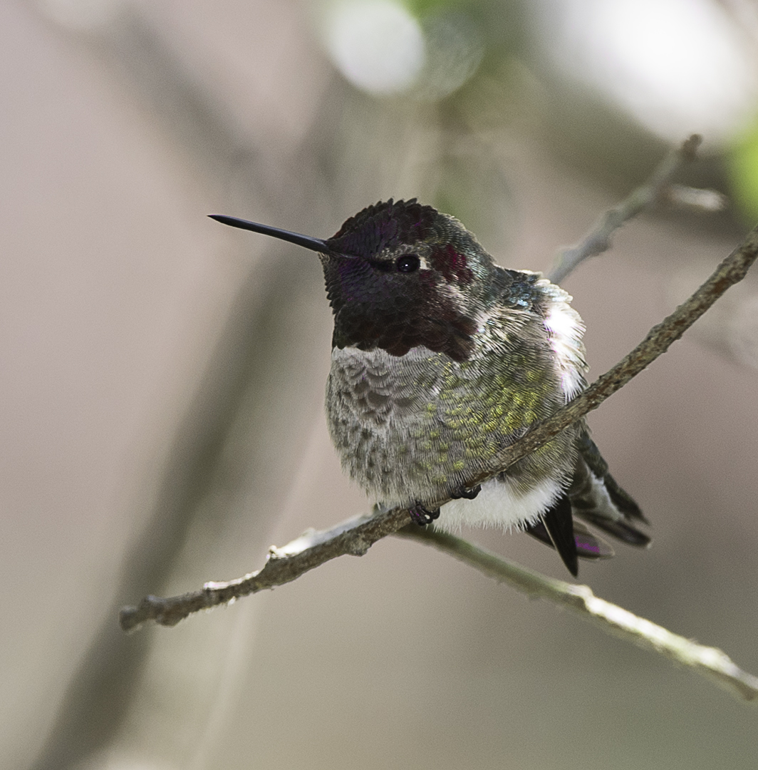 Anna's Hummingbird  near the Goleta Slough