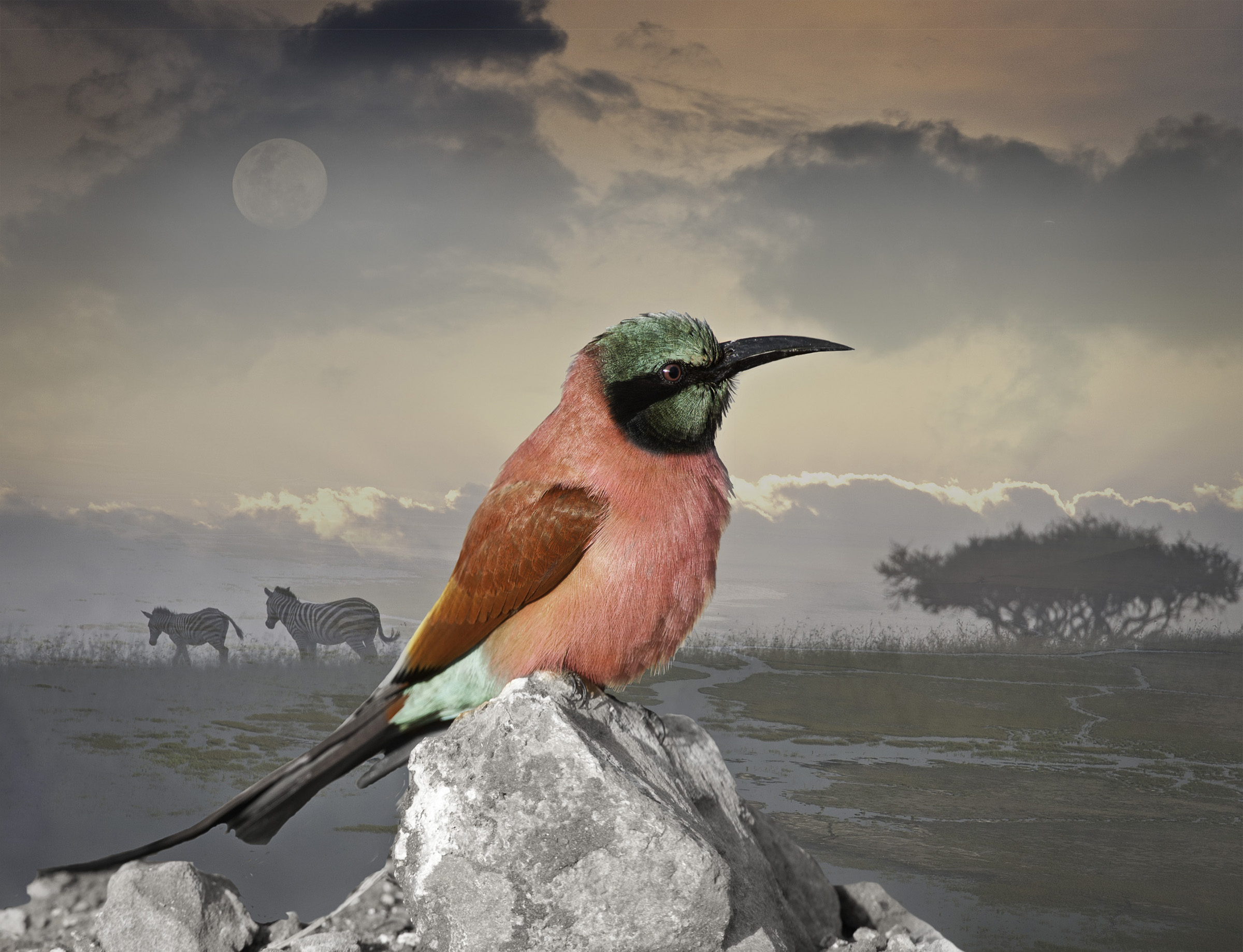 carmine bee-eater with zebras  ©2009