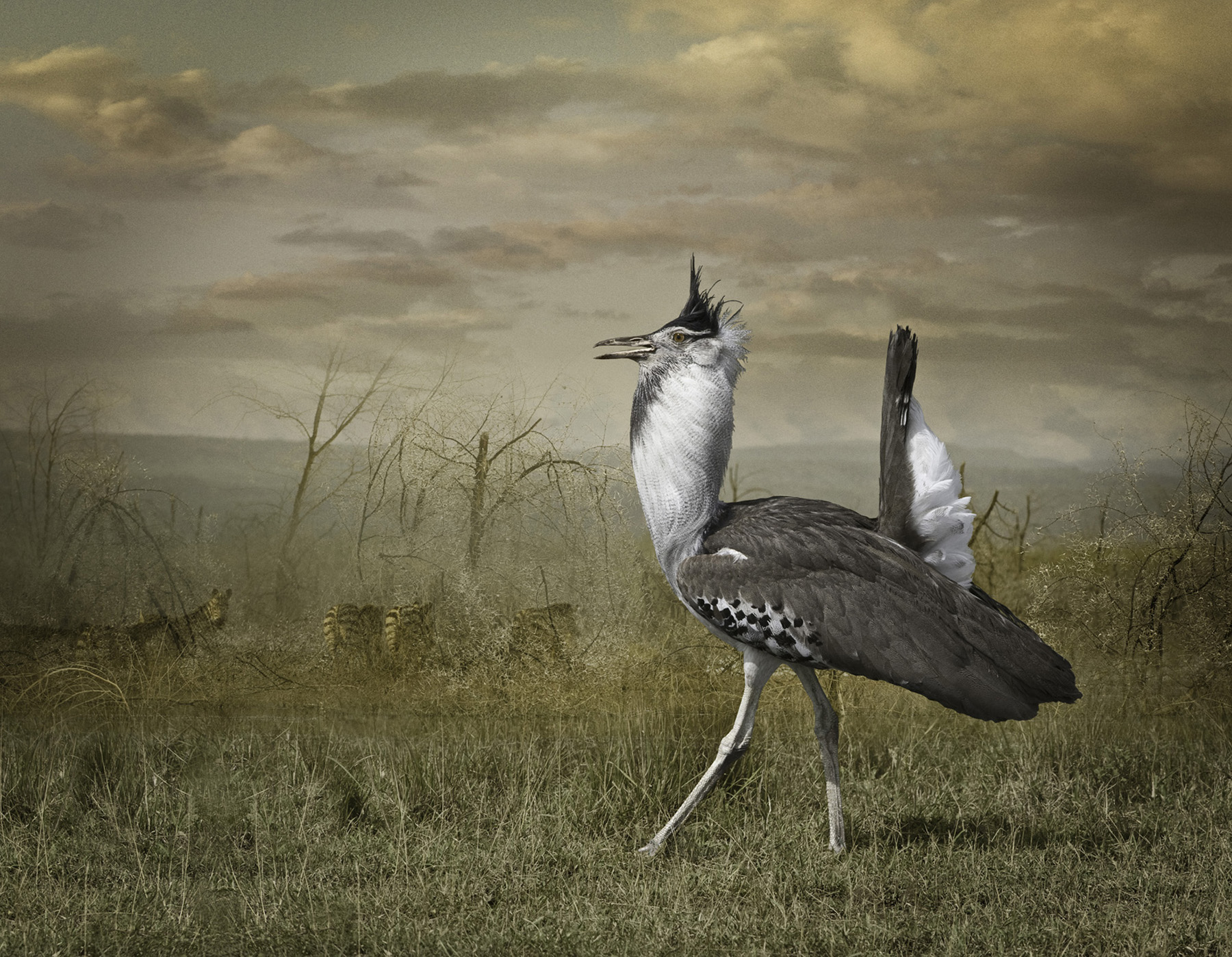 kori bustard with zebras  ©2009