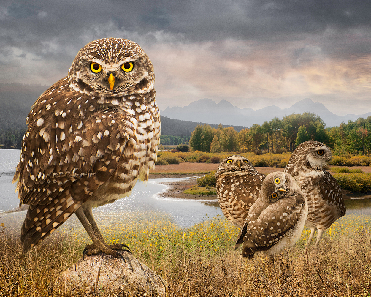 burrowing owls  ©2017