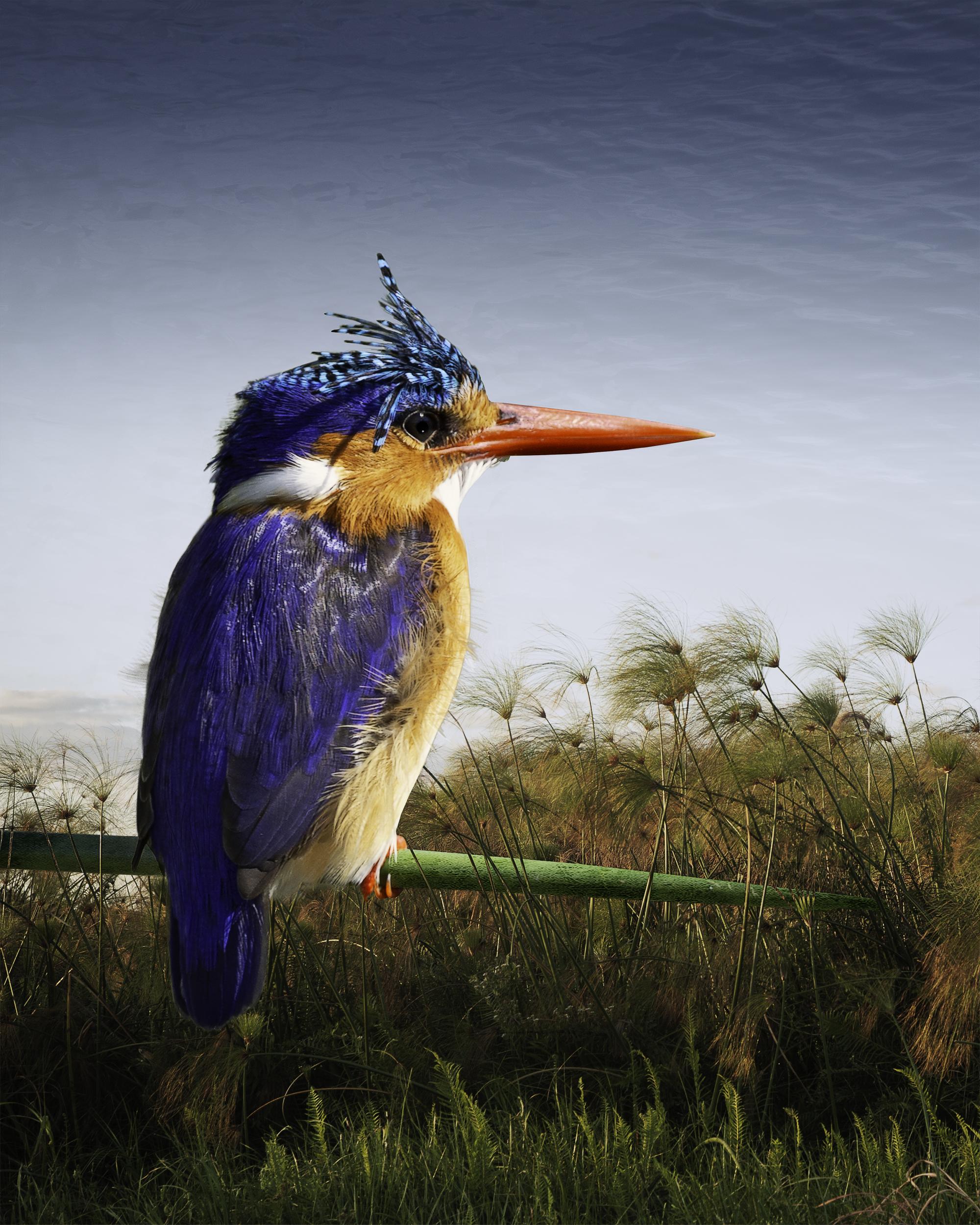malachite kingfisher  ©2016
