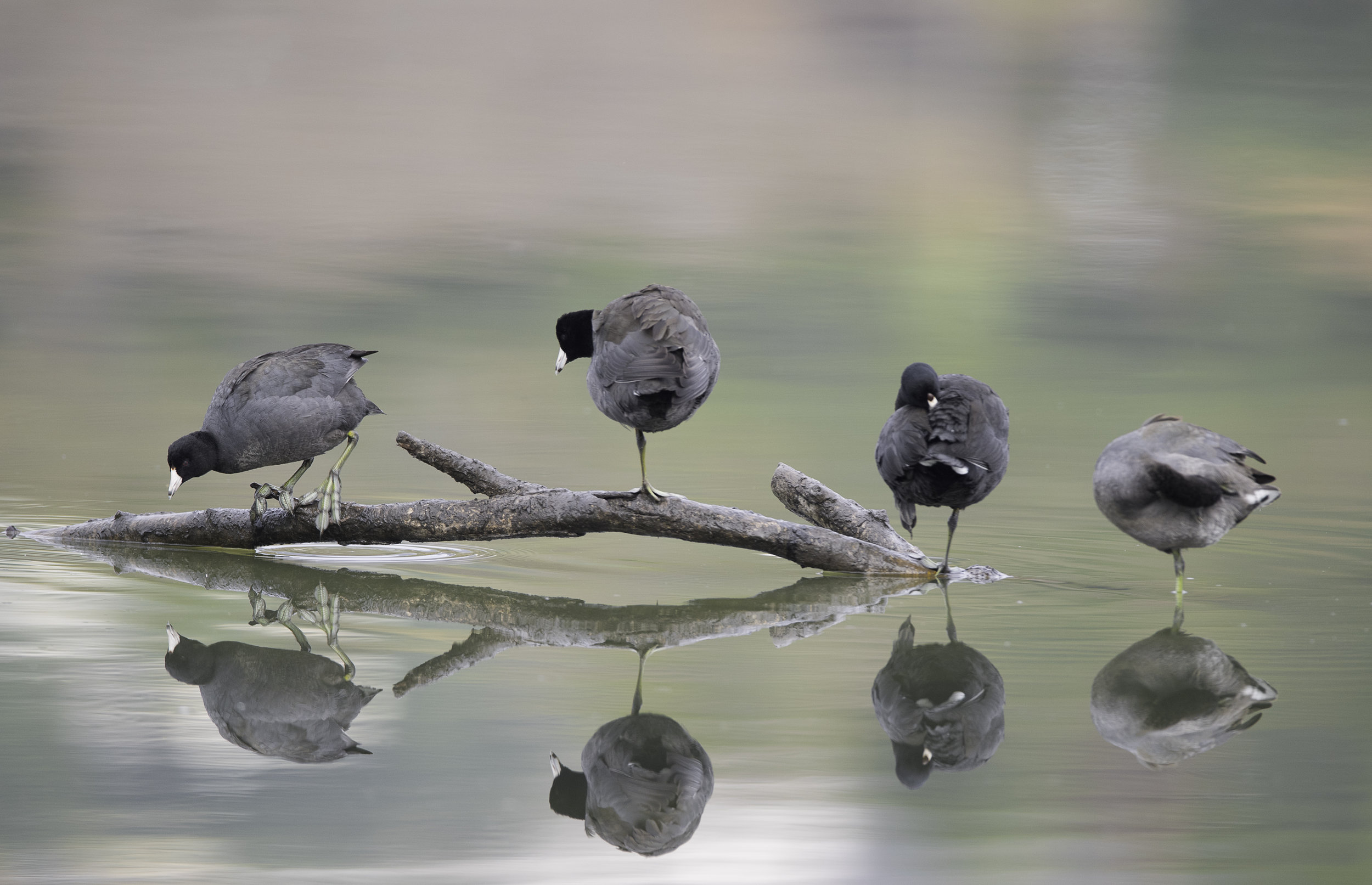 American coots  at Andree Clark Bird Refuge, Santa Barbara, CA