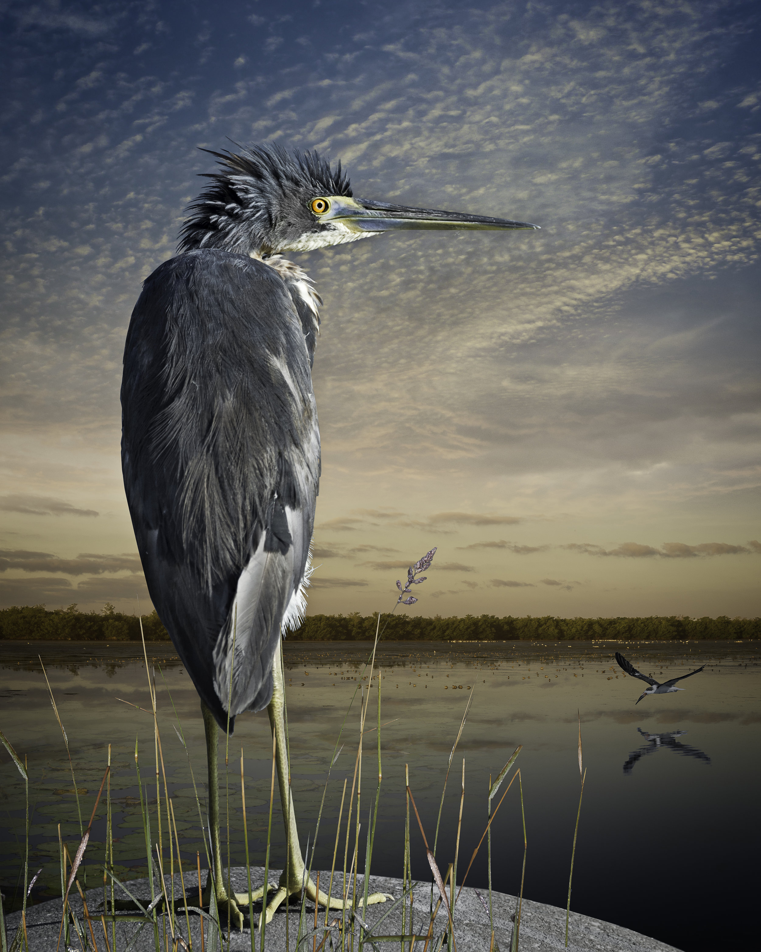 Tri-colored heron and a skimmer  is now part of the Odgen Museum of Southern Art in New Orleans, permanent collection.