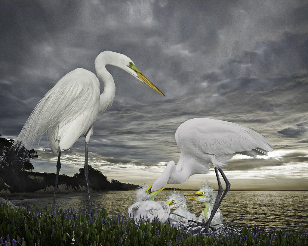 great egret family in the storm  ©2019
