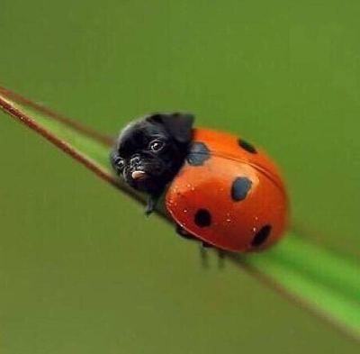 "^^ This is called a ""Lady Pug"""
